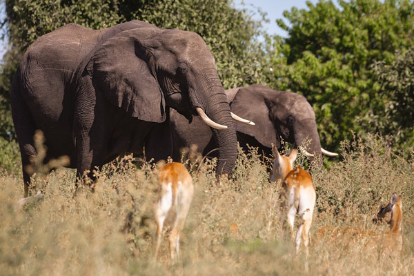 Elephants and antelope at Chobe National Park Botswansa