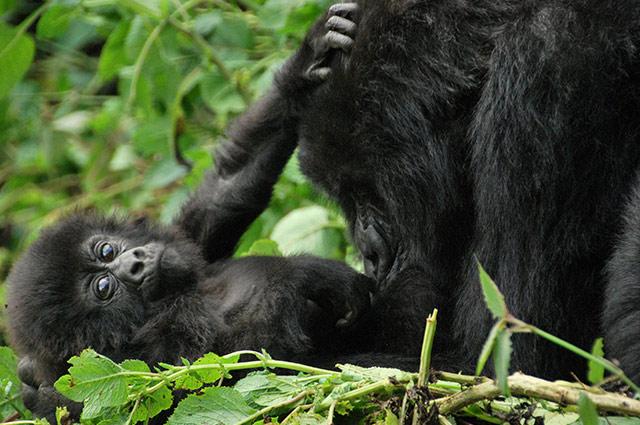 Gorillas in Volcanoes National Park in Rwanda