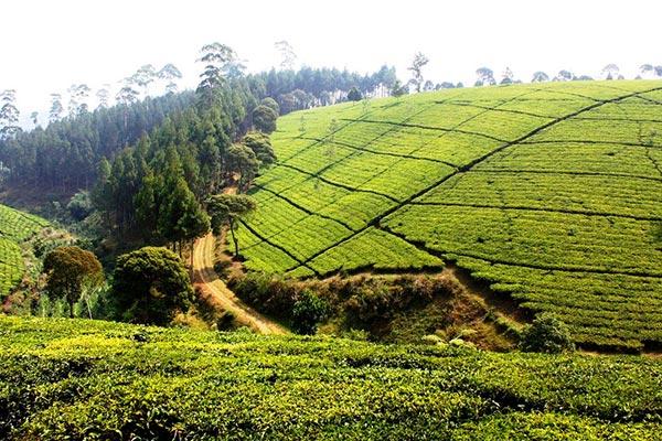 Bandung Tea Plantation West Java