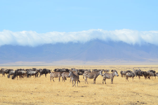 Zebras at Serengeti National Safari Park