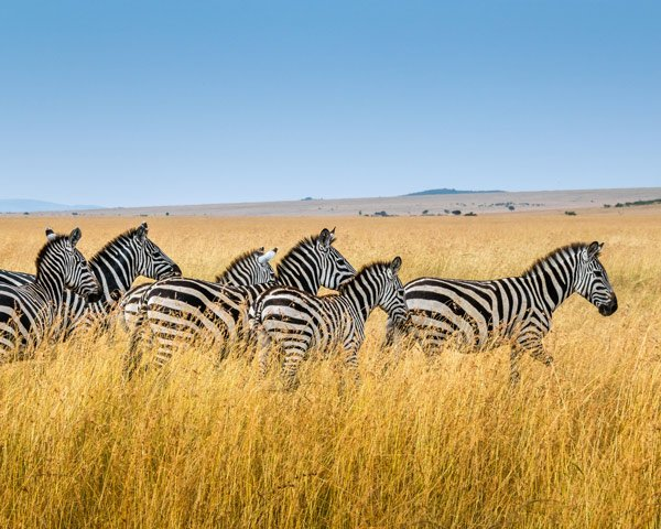 Zebras at Maasai Mara National Safari Park